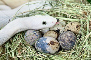 White snake with its eggs