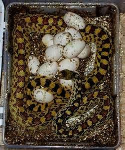 Gopher snake with its eggs