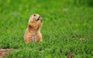 Gopher isolated in nature.