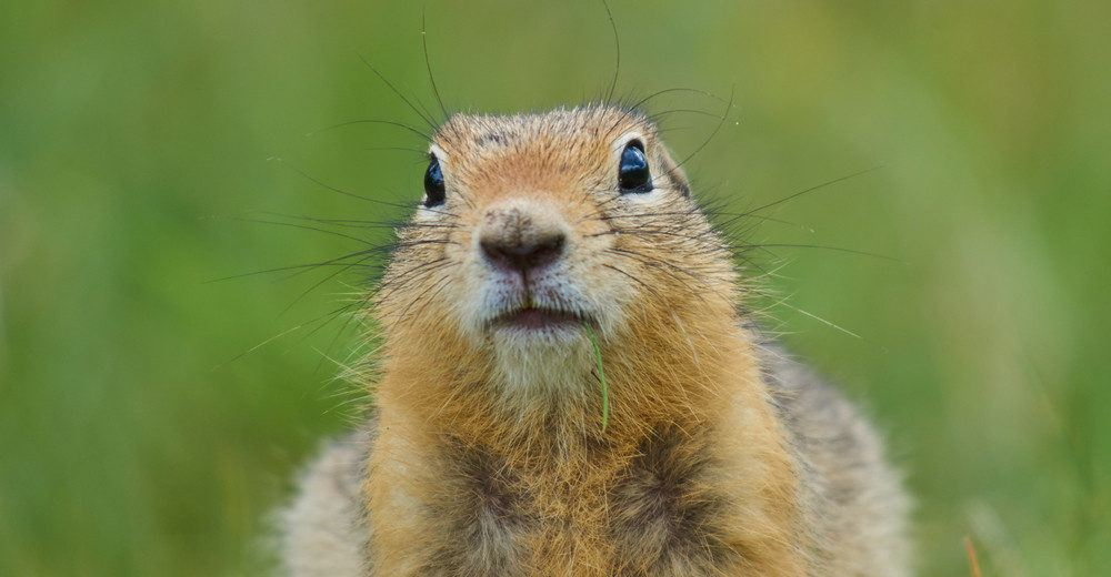 Portrait of a gopher.