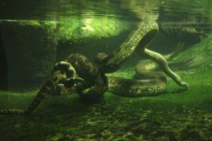 Green anaconda swimming underwater