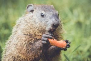 Funny little Groundhog holding carrot with mouth