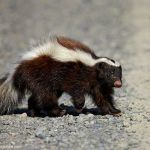 Hog-nosed Skunk on the ground