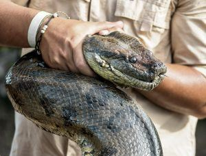 An anaconda is holding by a man's hand