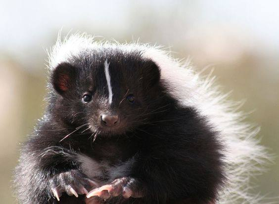 Hooded skunk looking at the camera