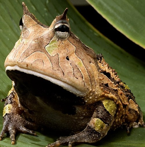 Amazon horned frog on leaf