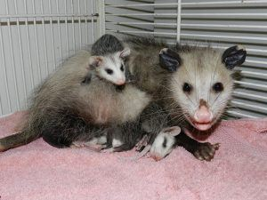 Three possums sitting on bed sheet