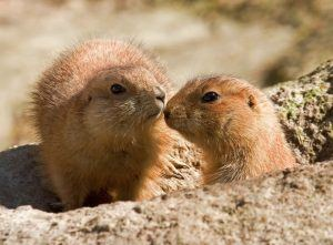 Two kissing gophers at the entrance of the hole.