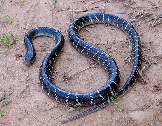 The India common krait