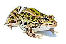 Close up of leopard frog on white background