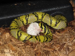 Mandarin rat snake eating
