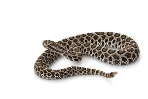 Massasauga isolated on white background