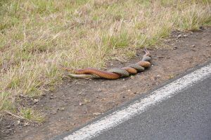 Two copperhead snakes mating by the road