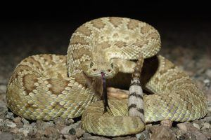 Mohave Rattlesnake showing tongue