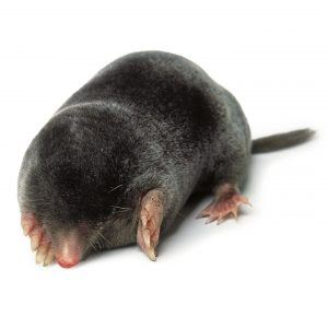 Mole on the white.