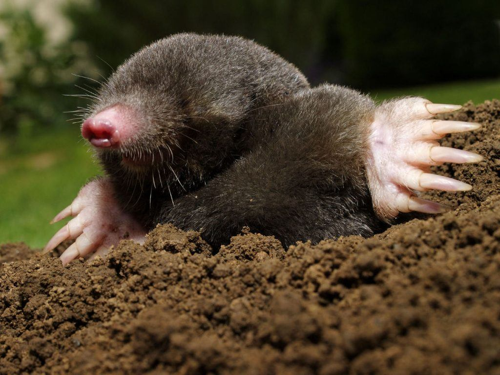 A mole is damaging the yard.