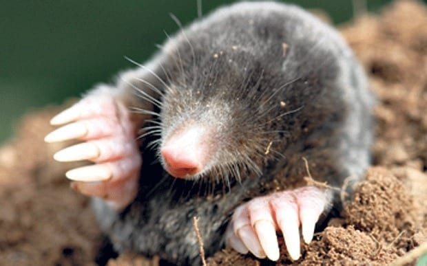 A mole in the dirt
