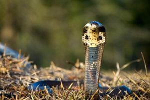 Monocled Cobra on grass