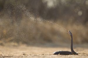 Mozambique Spitting Cobra spitting its venom in defense
