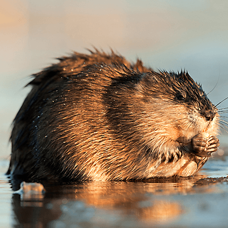 General muskrat walking on water