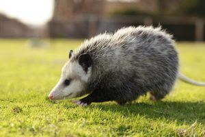 Opossum walking on grass