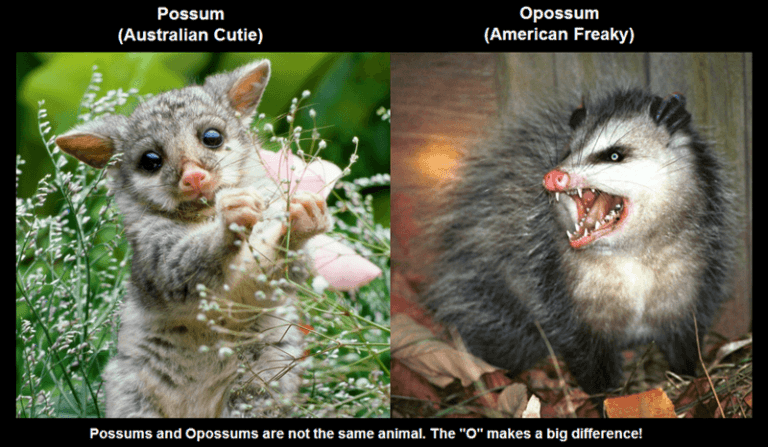 Opossum-and-Possum-768x447.png