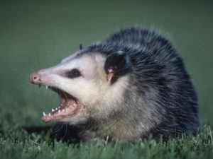 Opossum with wide opened mouth