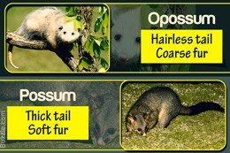 Difference between opossum and possum