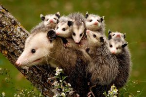 Opossum with its babies