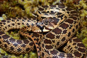 Pacific Gopher Snake on grass