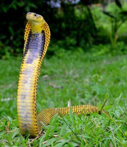 the worlds top 10 most venomous snakes pestwiki