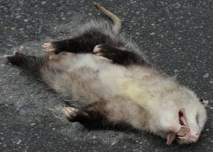 Playing possum on the ground