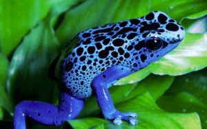Blue poison dart frog on leaves
