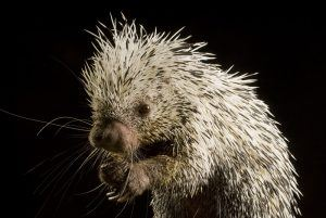Appearance of porcupine