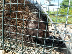Trap for porcupines