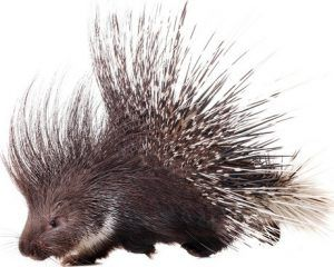 Porcupine on white background