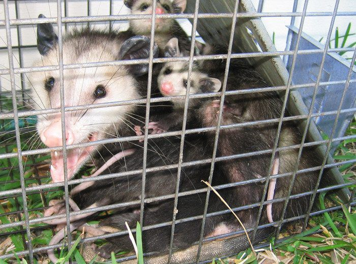 Possum family caught by trap