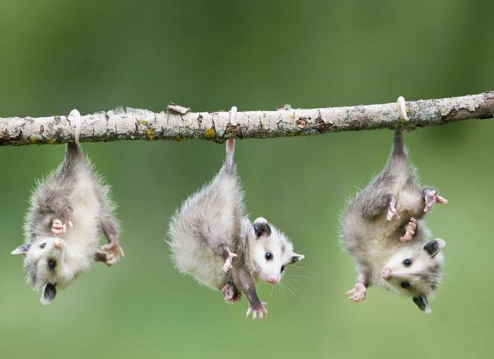 Three possums hanging on a wooden stick