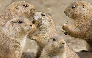 Black-tailed prairie dogs work together to build a town