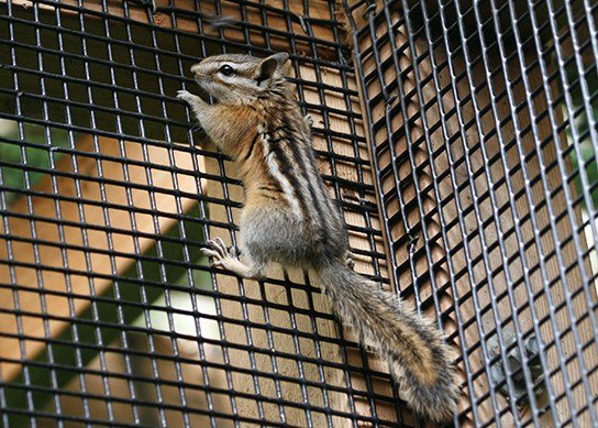 Complete guide of how to get rid of chipmunks outside pestwiki complete guide of how to get rid of chipmunks outside ccuart Image collections