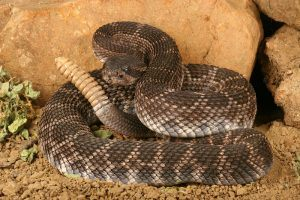 Brown rattlesnake lying on desert