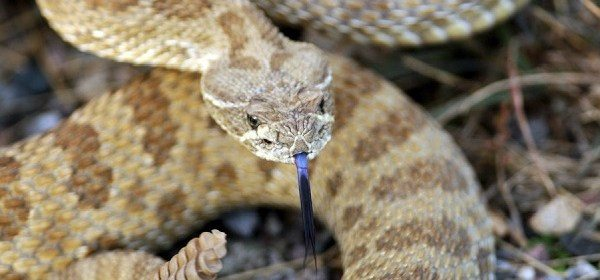 A Rattlesnake soaks up the afternoon sun