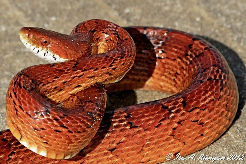 Red rat snake with wide opened eyes