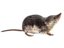 Shrew on the white background