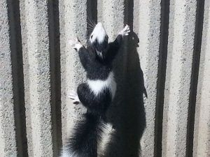 Skunk is climbing the fence.