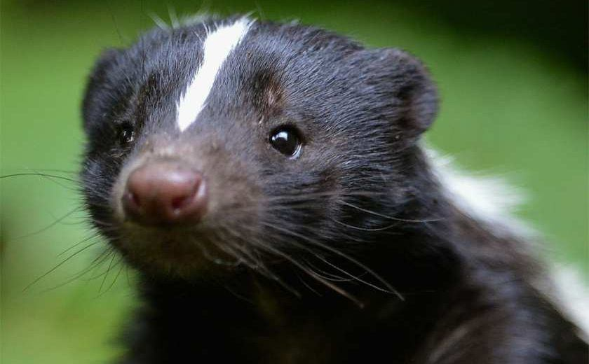 Close up a skunk
