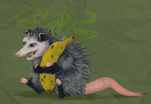 Smelly possum holding a banana