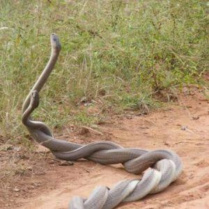 Two snakes are having sex in desert