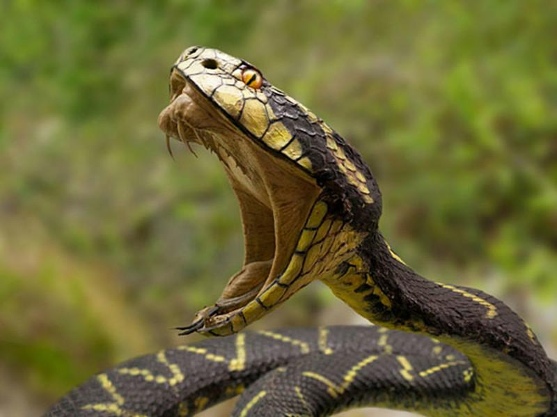 Snake with wide opened mouth