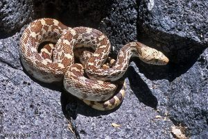 Sonoran Gopher Snake lying on rock